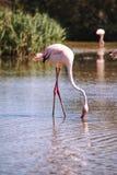 Flamingo im Wasser Lizenzfreies Stockfoto