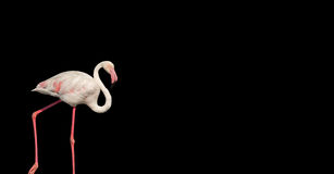 Flamingo isolado sobre o fundo preto Imagens de Stock