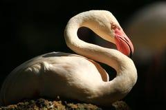 Flamingo. Isolate with black background Royalty Free Stock Image