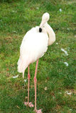 Flamingo isolated on  grass. Flamingo isolated on green grass Stock Photo