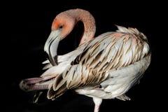 Flamingo juvenil Imagens de Stock Royalty Free