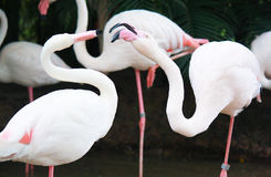 Flamingo, Khao Kheow Open Zoo Stock Images