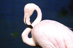 Flamingo at KL Bird Park. Stock Photo