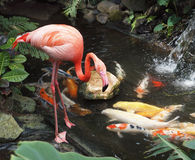 Flamingo and koi. Flamingo in a water stream amidst lush greenery and Koi fish Royalty Free Stock Image