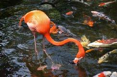 Flamingo and koi fish Royalty Free Stock Image