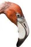 Flamingo-Kopf auf Weiß stockbilder