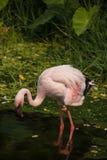 Flamingo in Korat-Zoo, Thailand Lizenzfreie Stockbilder