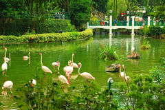 Flamingo in Kowloon park. Flamingo at the pond bank in Kowloon park, Hong Kong stock photos