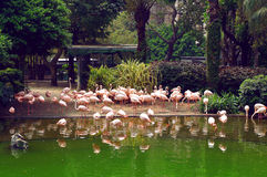 Flamingo in the Kowloon park of Hong Kong Stock Images