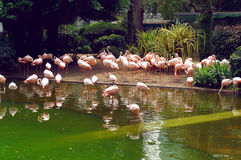 Flamingo in the Kowloon park of Hong Kong Royalty Free Stock Photo