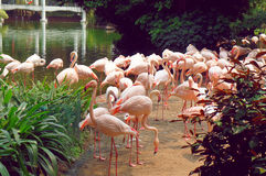 Flamingo in the Kowloon park of Hong Kong Royalty Free Stock Photos