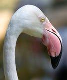 Flamingo in Kuala Lumpur Bird Park Royalty-vrije Stock Foto