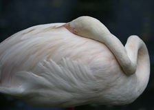 Flamingo in Kuala Lumpur Bird Park Royalty-vrije Stock Afbeelding