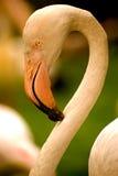 Flamingo, Kuala Lumpur, Malaysia Stock Photo