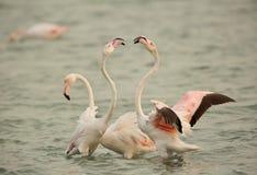 Flamingo kurtis, Bahrain royaltyfria bilder