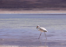 Flamingo in Laguna Blanca, Bolivia Royalty Free Stock Photo
