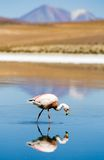 Flamingo, Laguna Blanca, Bolivia Royalty Free Stock Photo