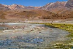 Flamingo in Laguna Colorada. Stock Photos