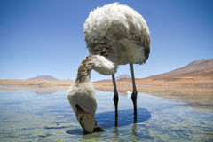 Flamingo in Laguna Colorada. royalty free stock images