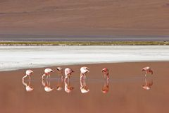 Flamingo on the Laguna Colorado Bolivia Stock Images