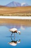 flamingo laguna för blanca bolivia Royaltyfri Foto