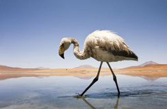 Flamingo in lake Royalty Free Stock Photos