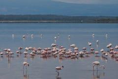 Flamingo on lake Royalty Free Stock Photos