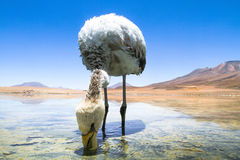 Flamingo on lake in Andes. Bolivia. Royalty Free Stock Photos