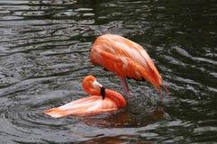The flamingo in lake Stock Photos