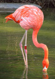 Flamingo in the lake Royalty Free Stock Photography