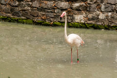 Flamingo on the lake drinking water Stock Photography