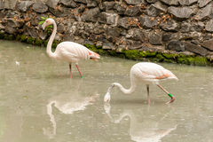 Flamingo on the lake drinking water Royalty Free Stock Photography