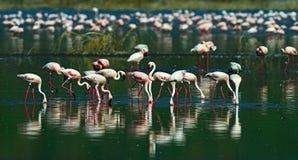 Flamingo on Lake hock Stock Images