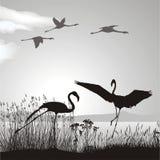 Flamingo on lake shore. Illustration silhouettes black birds in nature Royalty Free Stock Image