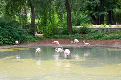 Flamingo on lake. Some white flamingos looking for food in lake at zoo Royalty Free Stock Images