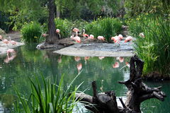 Flamingo land. Number of flamingos on a pond in a zoo Royalty Free Stock Photography