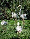 Flamingo. Stock Photos
