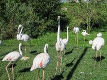 Flamingo. Stock Photography