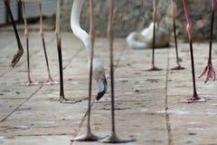Flamingo legs with bird looking in between Stock Photos