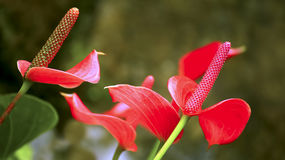 Flamingo lily or anthurium flowers. Bright red flamingo lily or anthurium flower plants background Stock Images