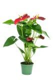 Flamingo lily plant Stock Photography