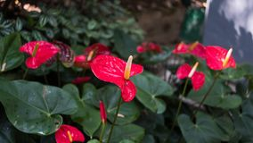 Flamingo Lily Plant In um parque Imagens de Stock Royalty Free