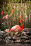 Flamingo in Lissabon-Zoo Lizenzfreies Stockbild