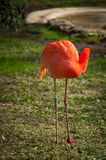 Flamingo in Lissabon-Zoo Stockfoto
