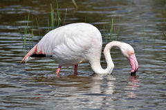 Flamingo. Looking for food in the marshes of the Delta of the river Llobregat, near Barcelona, Catalonia, Spain Royalty Free Stock Images