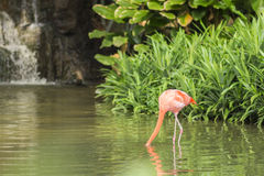 Flamingo is looking for food underwater Royalty Free Stock Photography