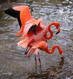 Flamingo love Royalty Free Stock Photos