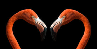 Flamingo in love... Stock Photo