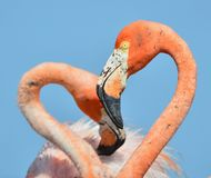 Flamingo Love. Royalty Free Stock Photo