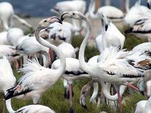 Flamingo Lovers. Flamingo birds rubbing beaks royalty free stock images